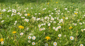 Blooming wildflowers in a meadow Royalty Free Stock Image