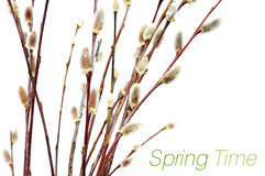 Blooming willow Royalty Free Stock Images