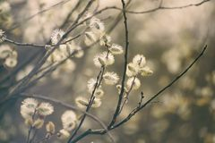 Blooming willow branch Stock Images
