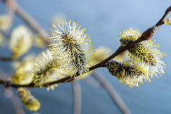 Blooming willow. Branch with buds blossoming willow Royalty Free Stock Image