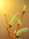 Blooming willow branch Stock Image