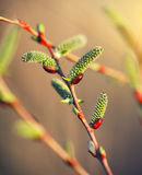 Blooming willow branch Royalty Free Stock Photos