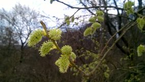 Blooming catkin, springtime, easter symbol royalty free stock photography