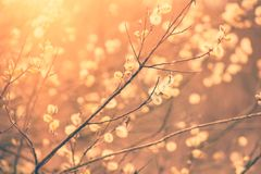 Blooming willow branch Royalty Free Stock Images