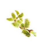 Blooming willow branch on white background. Stock Photography