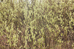 Blooming willow branches Stock Photography