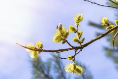 Blooming willow buds. Spring nature awakening concept.  royalty free stock photo