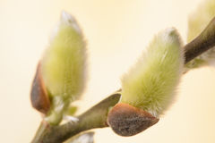 Blooming willow catkin Stock Images