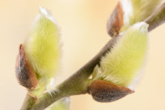 Blooming willow catkin Royalty Free Stock Photo
