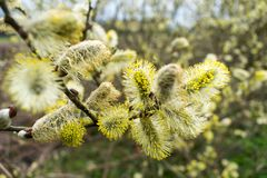 Blooming Willow Catkins Branch in Springtime. Seasonal Easter Background stock photography