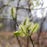 Blooming willow catkins Royalty Free Stock Photography