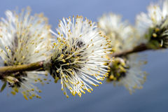 Blooming willow close-up. With blooming buds of willow close-up branch Royalty Free Stock Photos