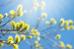 Blooming willow Stock Photography