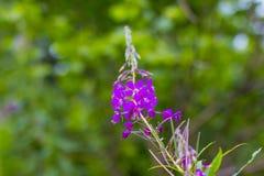 Blooming Willow herb Ivan tea stock photo