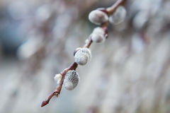 Blooming Willow. Salix caprea. Close up. Selective focus Stock Photography