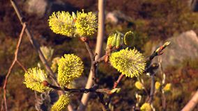 Blooming willow in the spring stock video
