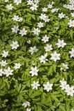 Blooming Windflower Stock Images
