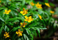 Blooming Winter Aconite - Eranthis hyemalis Stock Image