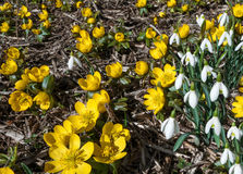 Blooming winter aconite and snowdrops Royalty Free Stock Photo