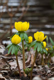 Blooming Winter Aconites Stock Images