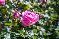 Blooming winter rose Stock Photography