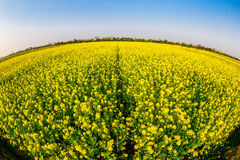 Blooming Wintercress fields. There are many tidal fields in this location with nice Wintercress that can be used for making oil royalty free stock photography