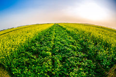 Blooming Wintercress fields. There are many tidal fields in this location with nice Wintercress that can be used for making oil stock photos
