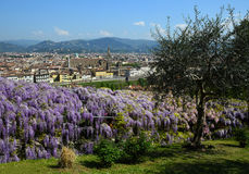 Blooming Wisteria at Bardini Garden in Florence and Basilica of the Holy Cross on background. Royalty Free Stock Photography
