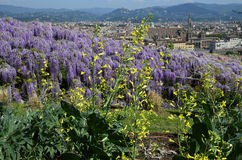Blooming Wisteria at Bardini Garden in Florence and Basilica of the Holy Cross on background. Stock Image