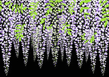 Blooming wisteria branch with leaves, vector illustration Royalty Free Stock Photo