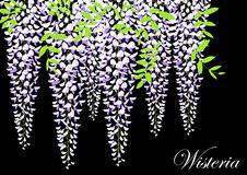 Blooming wisteria branch with leaves Stock Photography
