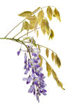 Blooming Wisteria floribunda branch isolated stock photos