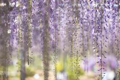 Free Blooming Wisteria Flower Royalty Free Stock Image - 93382696