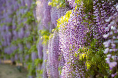 Free Blooming Wisteria Flower Stock Images - 93950114