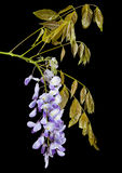 Blooming Wisteria isolated on black Stock Photo