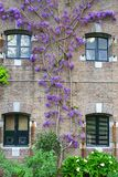 Blooming Wisteria on an old rustic brick wall Stock Photography
