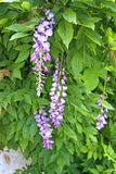 Blooming wisteria Royalty Free Stock Image