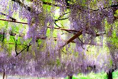 The blooming wisteria. The purple blooming wisteria in the spring Royalty Free Stock Photography