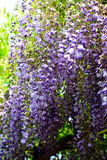 The blooming wisteria Stock Images
