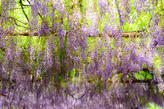 The blooming wisteria Royalty Free Stock Image