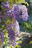 Blooming wisteria on a sunny day Stock Photos