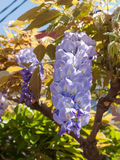 Blooming Wisteria tree Stock Photos