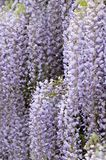 Blooming wisteria vine Royalty Free Stock Images