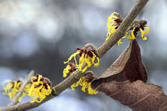 Blooming witch hazel branch in winter, yellow flowers of the med Stock Photography