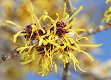 Blooming witch hazel in february Stock Images