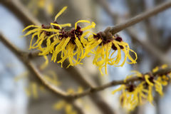 Blooming witch hazel or hamamelis shrub shows yellow flowers in Stock Images