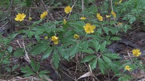 Blooming yellow anemones stock video footage