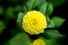 Blooming yellow ball dahlia flower. Blooming yellow dahlia flower with natural background - top view Royalty Free Stock Photography