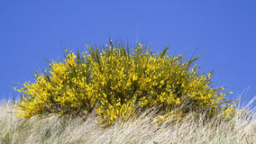 Blooming yellow broom Stock Photography
