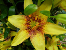 Blooming yellow and brown two-tone Lily with orange velvet pollen Royalty Free Stock Photo